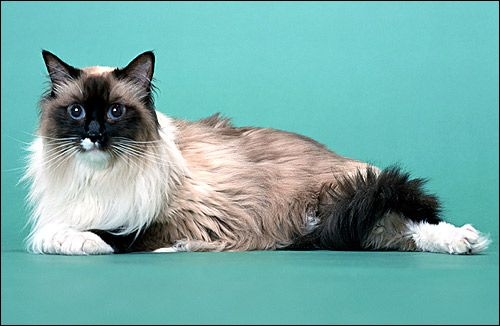 , Rase de pisici, fotografie, imagine, imagine Ragdoll animale