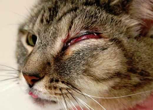 Zápal očí mačky