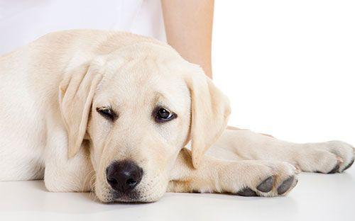 Inflamația membranei mucoase a vezicii urinare la câini