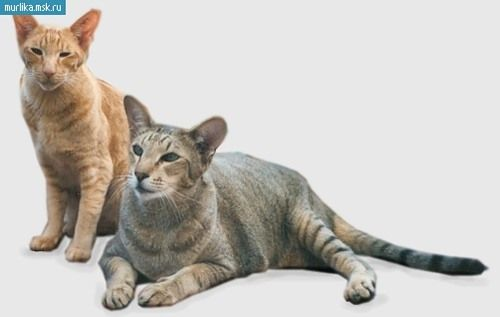 pisică shorthair orientale, Shorthair Oriental rasa pisici