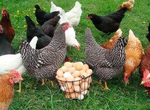 Всичко, което трябва да знаете за успешното размножаване и кокошки носачки
