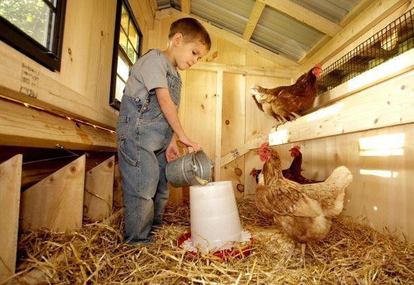 Băiatul hrănirea puilor într-un hambar