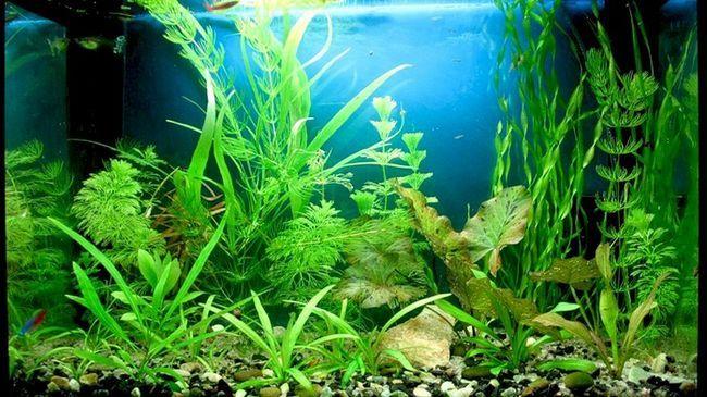 Sve što trebate znati o početnik akvarista akvarij biljke