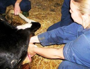 Kako da se isporuke krava
