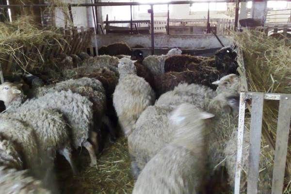 întreținerea de iarnă de ovine în grajduri
