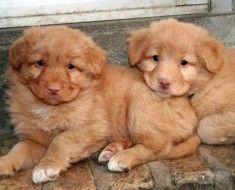 Dva Toller štene odmorište
