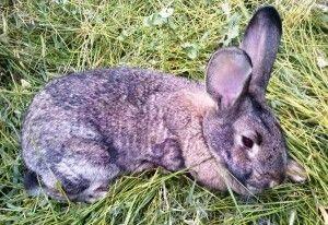 To všetko kokcidiózy králikov: príznaky, liečba, ako sa vyhnúť chorobe