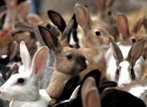 Всички зайците месо - поддръжка и грижи порода, както и основите на тяхното развъждане