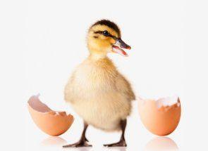 Totul despre apariția rățuște metodei de incubare născut
