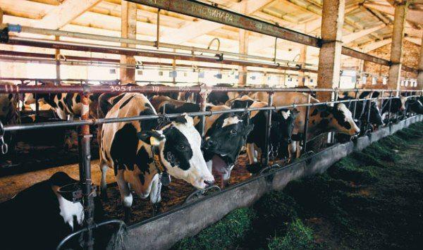Toate căile de menținere vaci