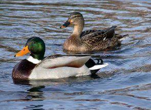 Sve tajne divlje patke