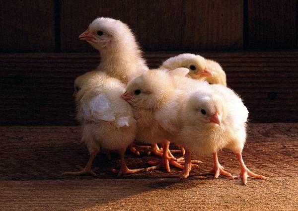 O mulțime de pui galbene într-o casă de găină