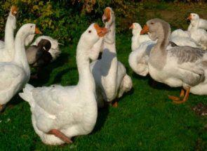 Всички тайни на отглеждане и грижа за гъски