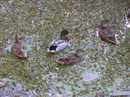 Izbor mjesta decoy patke i lov sa njima