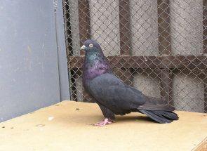 Vysokoletnye golubovi - iznad samo avion