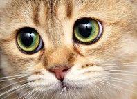 očné ochorenia u mačiek