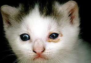 Заболявания на носната кухина и слъзните канали при котки.