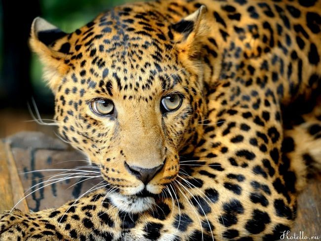 Zástupcovia pre divokú stratu mačka fúzy - je zaručená hladovania. Bez nich nemôžu loviť