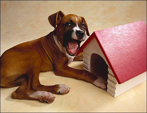 Šteňa boxer boxer dog Reklamné fotografie Image