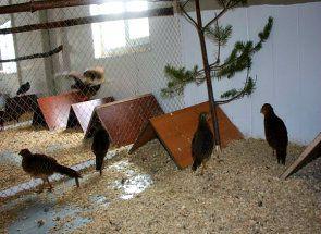 Zarábať Pheasant: ako sa správať je doma