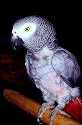 Jacquot (šedý papagáj)