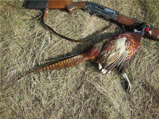 Pradă ravnit pentru vânători din întreaga lume - fazan Caucazian