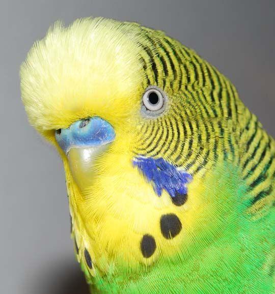 Papagali galben-confruntat