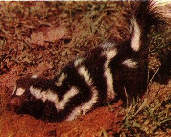 Foto 1 Animale pădurile din America de Nord