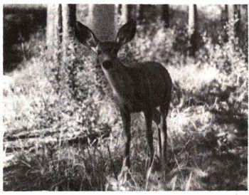 Foto 2 animale de companie pădurile din America de Nord