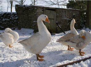 Zima bez ťažkostí - ako preexponovania husi v chladnom období