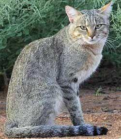 Стойността на размножаване породисти котки.