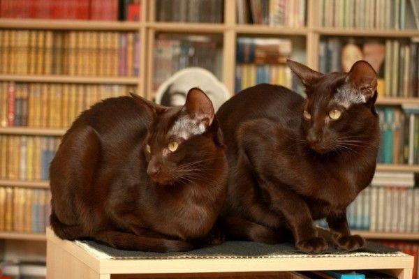 Două Havana Brown pisica arata deoparte