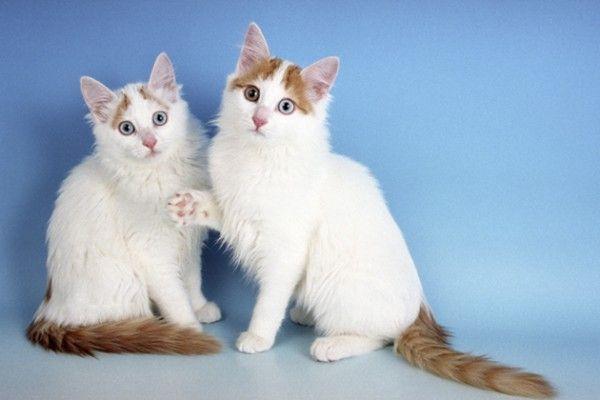 Doi reprezentanți ai pisicile din rasa Anatolian