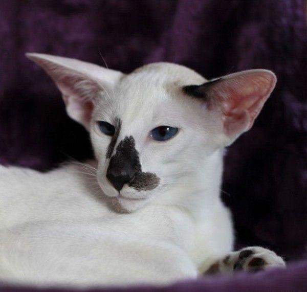 pisică Seychelles bot closeup