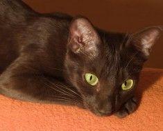 Havana Brown pisica de odihnă