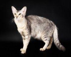 pisică Javaneză de culoare argintie