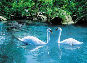 Upoznajte prekrasne ptice - labud