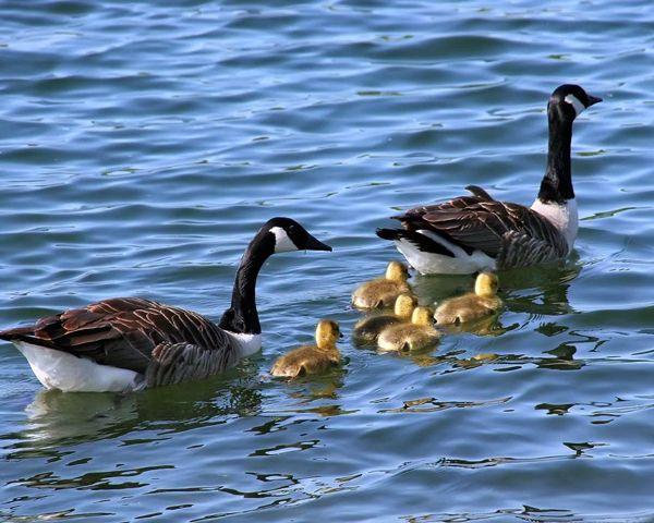 Divlja patka patka sa pačiće kupanje u ribnjak
