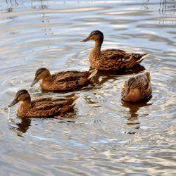 Zajedničke divlje patke s ribama voda