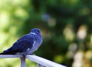 Faceți cunoștință cu porumbeii gri-albastru