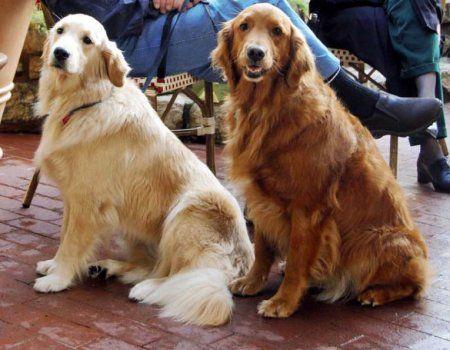 Labrador Retriver, rase